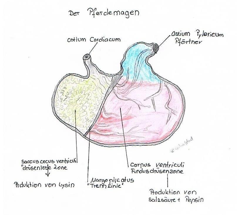 Fein Magen Funktion Bilder - Menschliche Anatomie Bilder ...