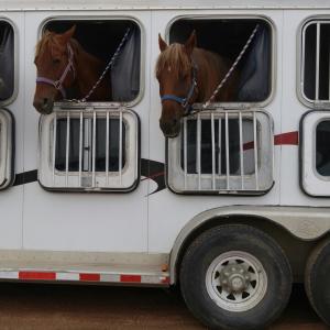 Pferde im Pferdehänger