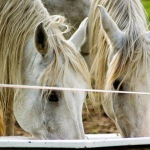 Pferde beim Trinken