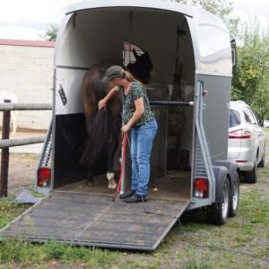 Das Pferd bleibt entspannt im Hänger stehen