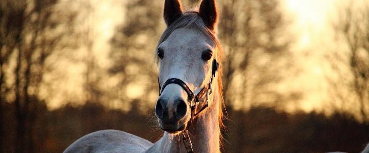 Ein Pferd zeigt mit den Ohren seine Aufmerksamkeit