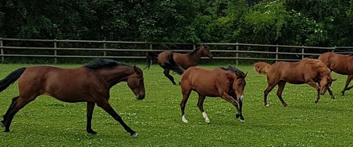 Pferde in der Gruppenhaltung