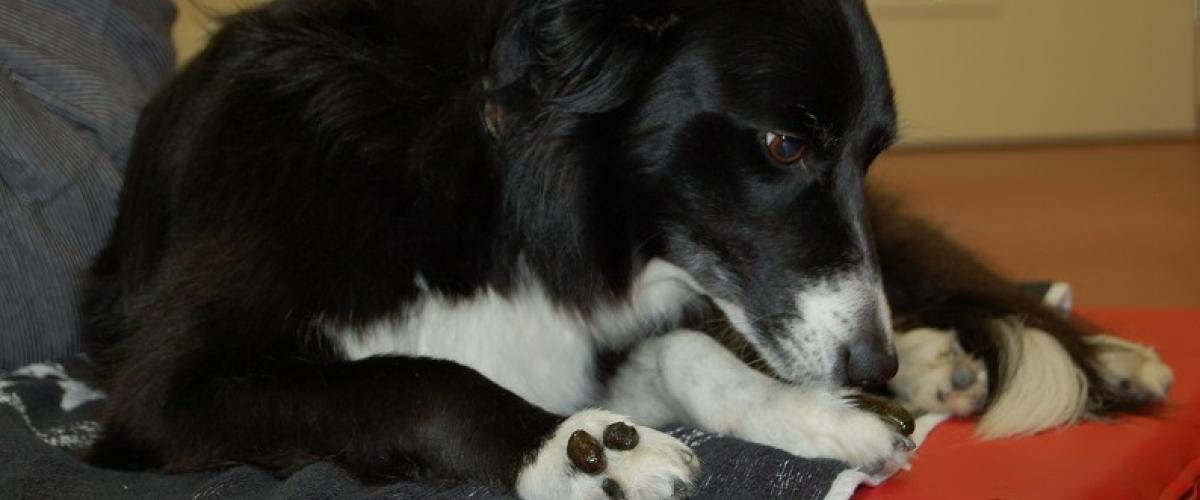 Hund bei der Blutegeltherapie